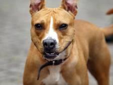 Kort geding om afmaken pitbulls te voorkomen