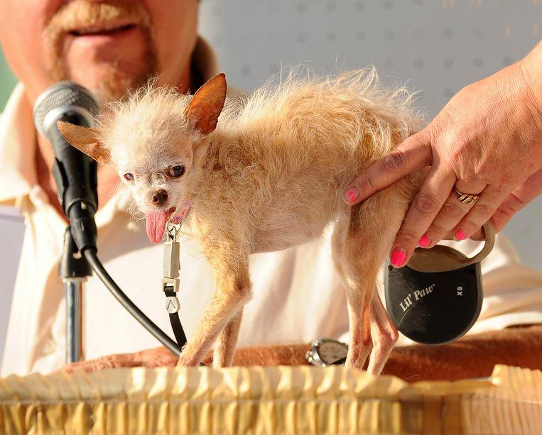 Yoda vorig jaar juni bij de verkiezingen van de lelijkste hond ter wereld in het Californische Petaluma. Beeld ap