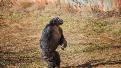Wat een beeld: aap uit labo ziet voor het eerst onbelemmerd de lucht en vergaapt zich aan al dat moois