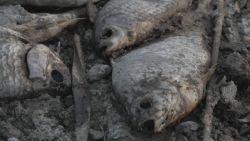 Tienduizenden dode vissen aan Grieks meer