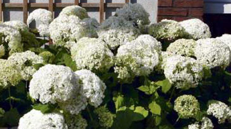 De 'gewone' hortensia. (Jörgen Caris, Trouw) Beeld