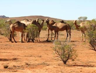 """Australië laat meer dan 10.000 wilde dromedarissen afschieten vanuit helikopters: """"Ze drinken het kostbare water op"""""""