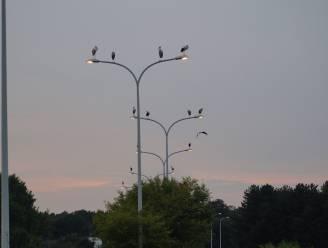 Groep van 68 ooievaars verzamelt op snelwegbrug