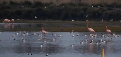Ook Spaanse flamingo's weten Zwillbrock nu te vinden