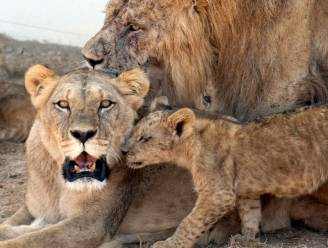 Drie kinderen gedood door leeuwen in natuurreservaat in Tanzania