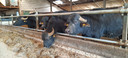Waterbuffels in de stal van Van den Hurk. Het hek is aangepast en heeft nauwelijks verticale stangen, omdat de dieren daar met hun typische horens achter kunnen blijven hangen.