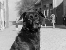 Hondenbelasting belandde net niet in de doofpot, maar Ossenaren probeerden het massaal te ontduiken