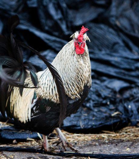 Horendol van kukelende hanen in Utrechtse woonwijk: 'Elke ochtend al om 5.00 uur wakker'