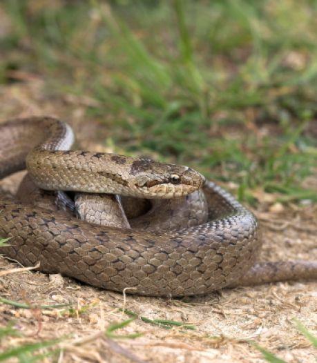 Als je deze zeldzame slang in het Bergherbos ziet, laat het dan even weten
