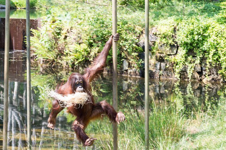 Een orang-oetan.  Beeld Thinkstock