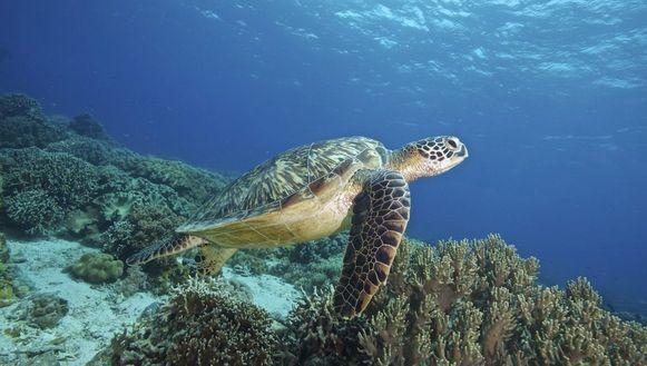 Een groene zeeschildpad