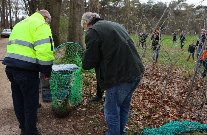De wasbeer is met behulp van een verdovingspijl uit de boom gehaald en opgevangen in een net.