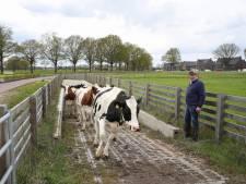 De koeien van boer Scheepers moeten voor hun dagelijkse portie vers gras eerst 2,5 meter onder de grond door