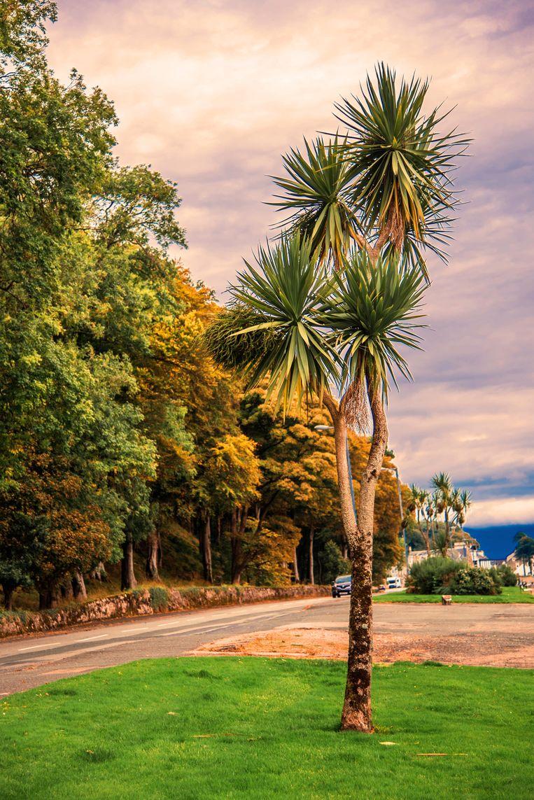 Palmbomen in Schotland, ze bestaan echt en groeien op Bute. Beeld Getty images