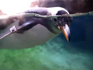 Pairi Daiza opent pinguïngrot voor grote publiek