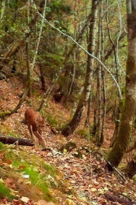 De eerste Brabantse lynx zou zomaar in ons deel van de provincie kunnen opduiken