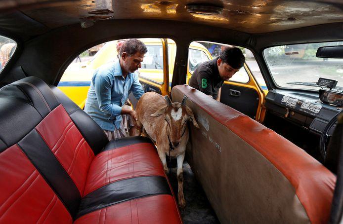 Zo'n geit in je auto is toch best wat gedoe, dacht deze man uit Kolkata, India. Bovendien laat het beest een behoorlijk penetrante lucht achter. Gewoon met de taxi dus, niet moeilijk doen.