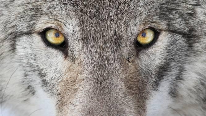 Wolf doodt schapen in Brabant: 'We zullen ermee moeten dealen'