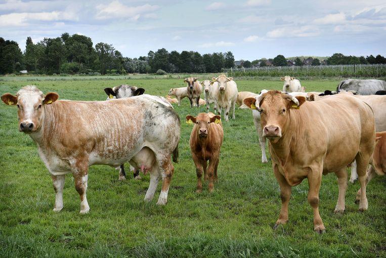 Het aantal melkkoeien daalde afgelopen jaar lichtjes. Beeld Marcel van den Bergh