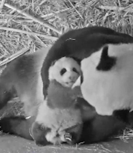 Pandajong Fan Xing zet eerste stapjes in Ouwehands