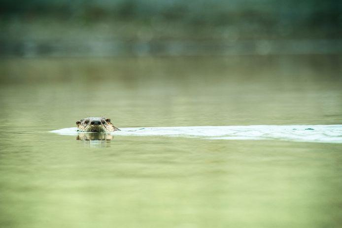 De otter is bezig aan een opmars.