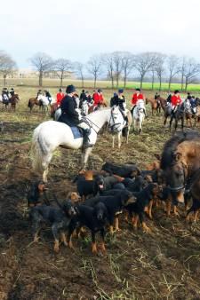 Ruiters en honden trekken door Groesbeekse velden voor slipjacht, koeien slaan op hol