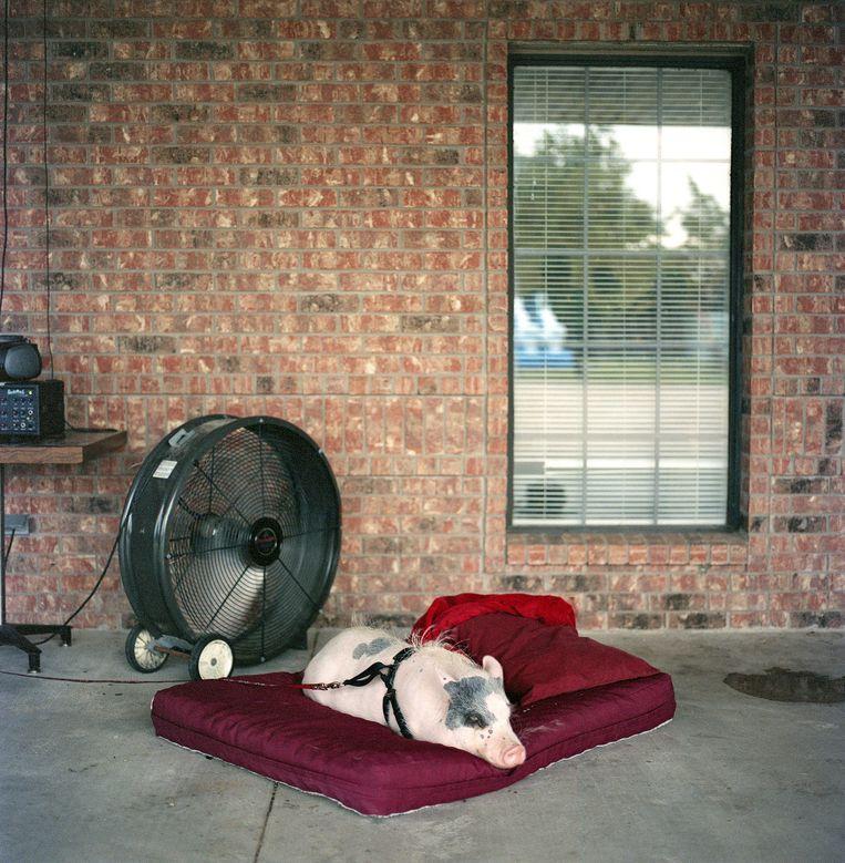 Varken op deken naast ventilator: verwende zwijnen zijn het tegenwoordig! Beeld Sandy Carson/INSTITUTE