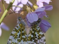 Oranjetipjes en heideblauwtjes: eerste vlindersoorten duiken op in Twente en de Achterhoek
