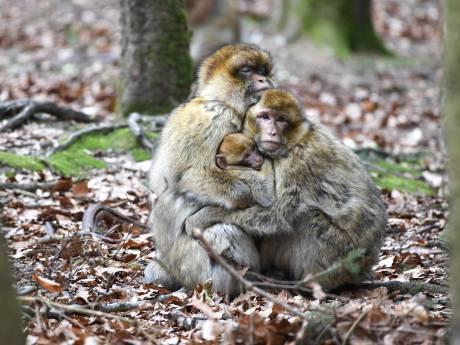 Une vingtaine de singes s'est échappée d'un zoo en Allemagne