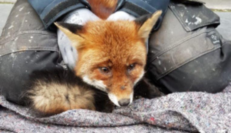 De klusser hield de vos vast totdat de Dierenambulance het dier op kwam halen. Beeld Dierenambulance Amsterdam