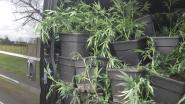 Politie treft weedplantage met 250 planten aan na klachten van buurtbewoners over cannabisgeur