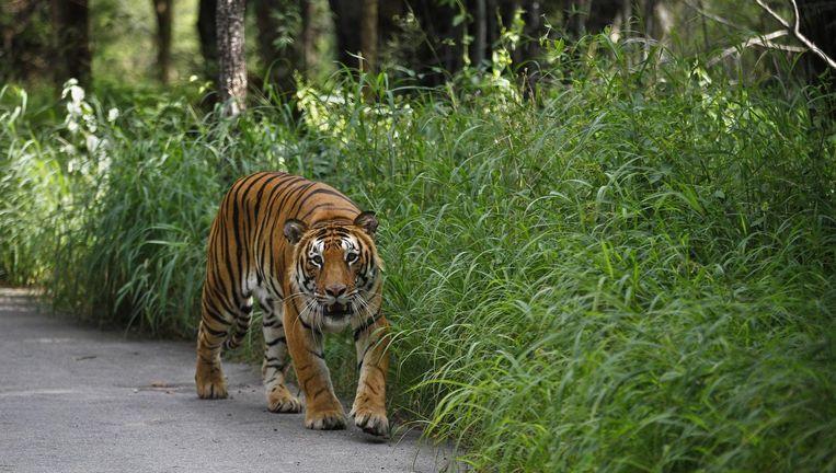 Een Bengaalse tijger in India. Beeld ap