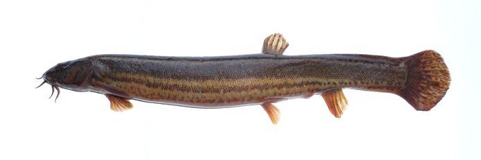 De modderkruiper staat op de rode lijst van bedreigde diersoorten en werd vorig jaar november elders op de Plantage aangetroffen.