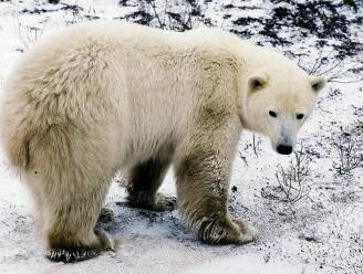 Belgische ijsbeer verhuist naar Nederlandse zoo