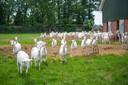 De toekomst van de geitenboerderij van Ten Voorde aan de Beemterweg staat op het spel als de gemeente de bebouwing op de achtergrond legaliseert.