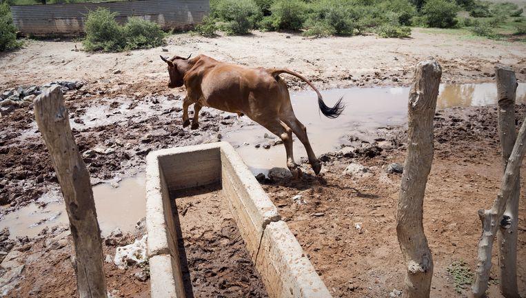 Een koe bij een lege drinkbak in Matobo; een buitje maakte een plas. Beeld Sven Torfinn