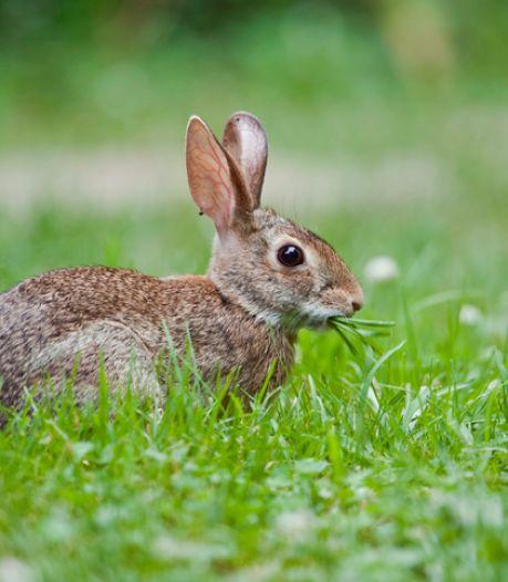 Dodelijke ziekte grijpt om zich heen: wilde konijnen met bulten en pussende ogen bij Haarrijnseplas