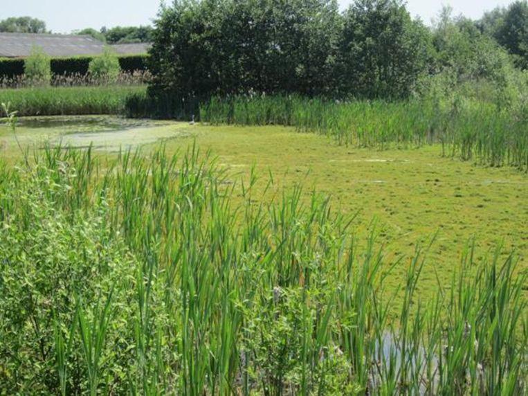 Watercrassula dreigt het bufferbekken te overwoekeren