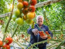 Tomatenkweker ziet hoe hardnekkig virus door kas 'rent': 'Werd toch wel zenuwachtig'