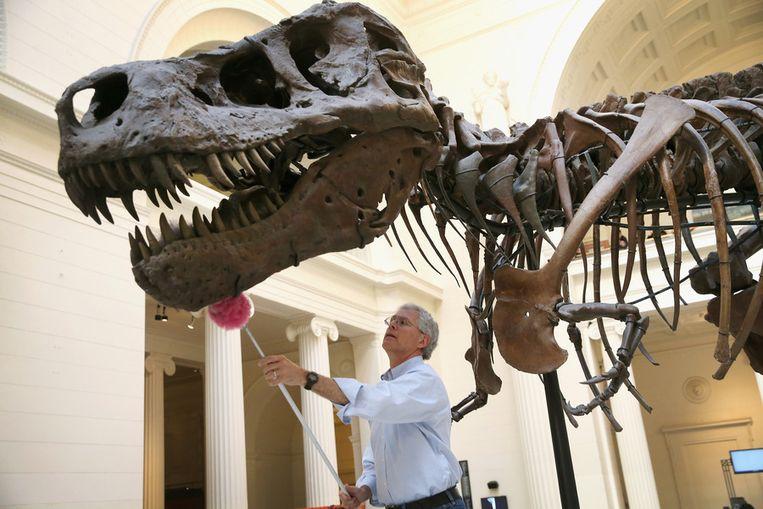 T-Rex 'Sue', de grootste ooit gevonden, wordt verzorgd in het Field Museum in Chicago. Beeld afp