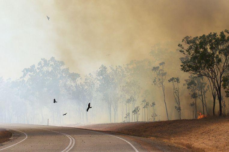 Zwarte wouwen in Australië, daar ook wel 'vuurhaviken' genoemd, jagen op insecten, knaagdieren en reptielen die vluchten voor bosbrand. Beeld Rob Buiter