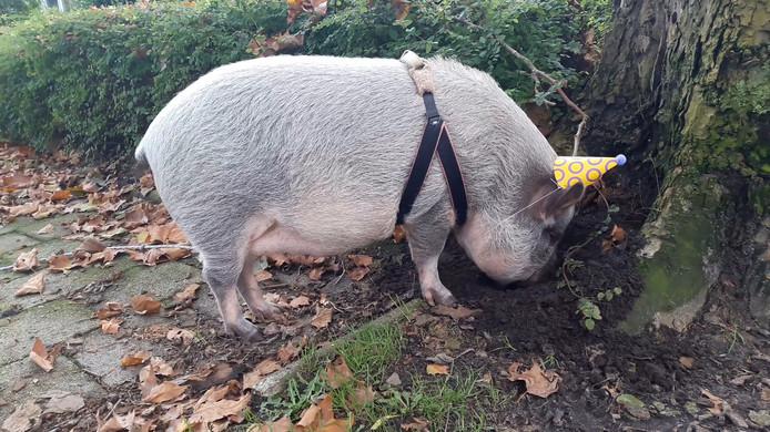 Het jarige varkentje Freulie (2) mocht met een feesthoedje op een extra lange wandeling door de wijk Meilust in Bergen op Zoom maken van haar baasje. Vooral eikeltjes bij de Kleine Melanen bleken populair bij de jongedame.