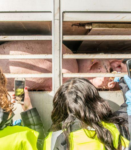 Dagmar (23) knuffelt met varkens voordat ze naar de slachtbank gaan: 'Dit zijn dieren met gevoel'
