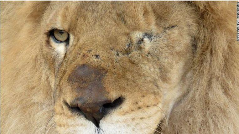 Ricardo is één van de 24 leeuwen die uit een circus in Peru werden gered. Beeld ADI