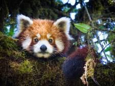 Rode panda is de beste ontsnapper van de dierentuin: 'Hoeft maar een takje over te hellen en hij is weg'