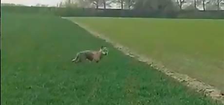 Wolf die op Tholen rondliep, kwam helemaal uit Duitsland
