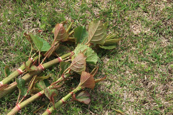 Het zijn vooral de stelen en wortels van de  Fallopia japonica die hem geduchte woekeraar maken van de duizendknoop.