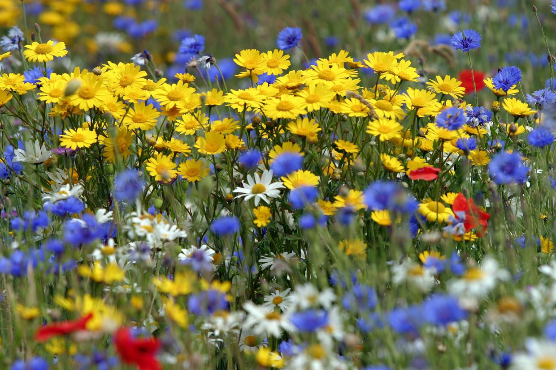 De bijen- en bloemenlinten zijn een project van de zogeheten Groengroep Nieuw-Sloten. Beeld Getty Images