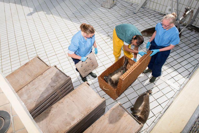 In Pieterburen worden opgelapte zeehondenpups nog even goed nagekeken, voordat ze weer de zee in gaan. Beeld Els Zweerink