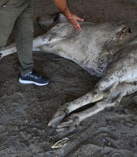 Clous, billes, plastiques: 71 kg de déchets dans l'estomac d'une vache en Inde